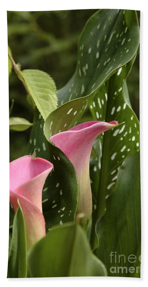 New England Beach Towel featuring the photograph Calla Lilies by Erin Paul Donovan