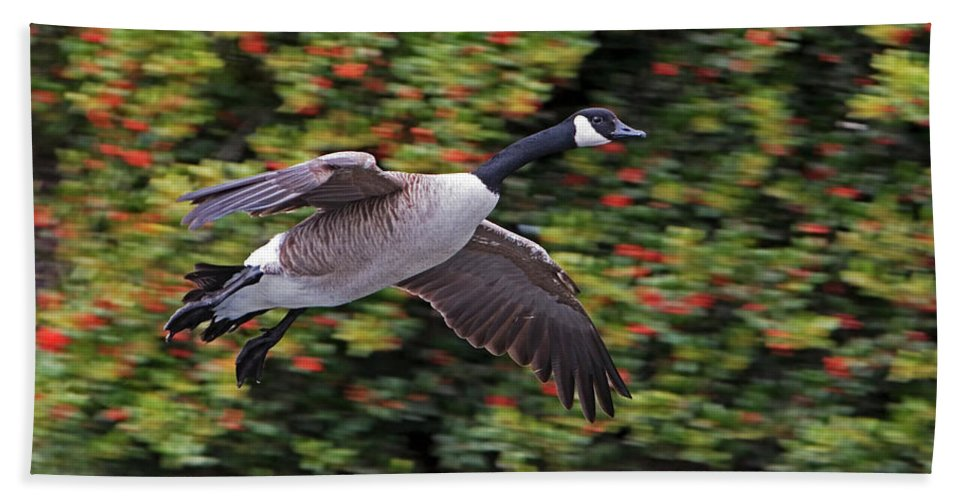 Canada Goose Beach Towel featuring the photograph Canada Goose Landing by Randall Ingalls