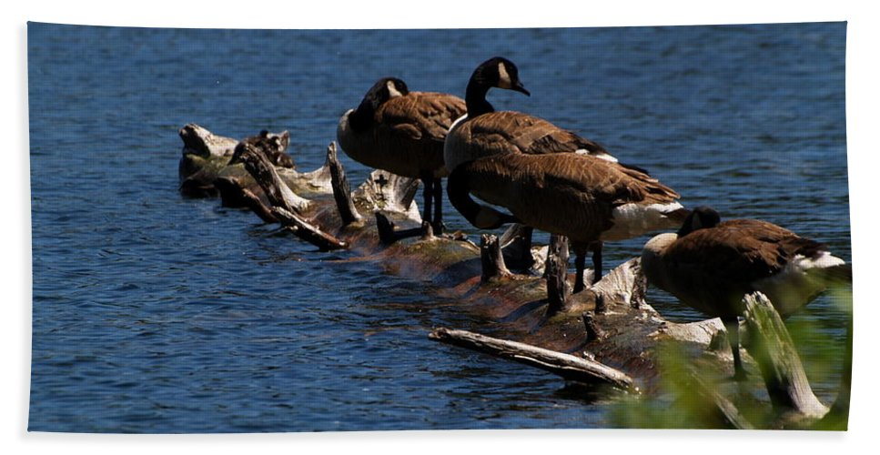 Animals Beach Towel featuring the photograph Canada Goose Family Line-up by Richard Thomas