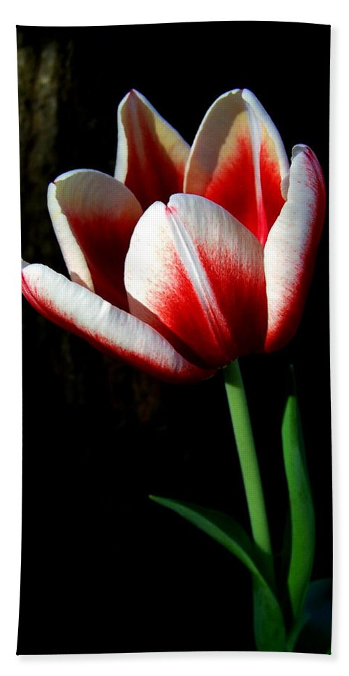 Nature Beach Towel featuring the photograph Candy Cane Tulip by Peg Urban