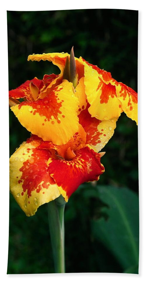 Cannas Beach Towel featuring the photograph Cannas With Dew by Sally Weigand