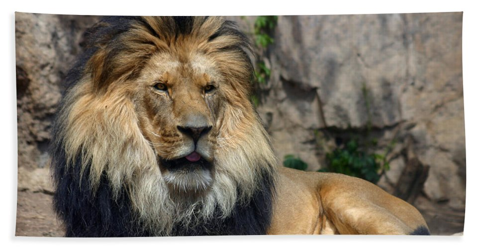 Lion Beach Towel featuring the photograph Captive Pride by Anthony Jones