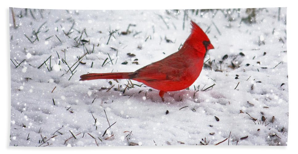 Bird Beach Towel featuring the photograph Cardinal In The Snow by Suzanne Stout