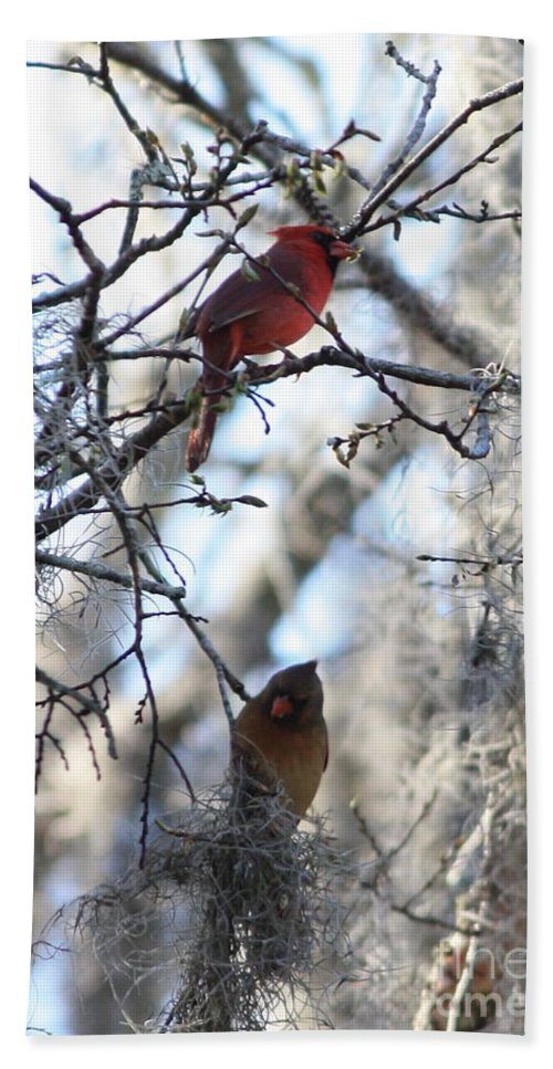 Wildlife Beach Towel featuring the photograph Cardinals In Mossy Tree by Carol Groenen