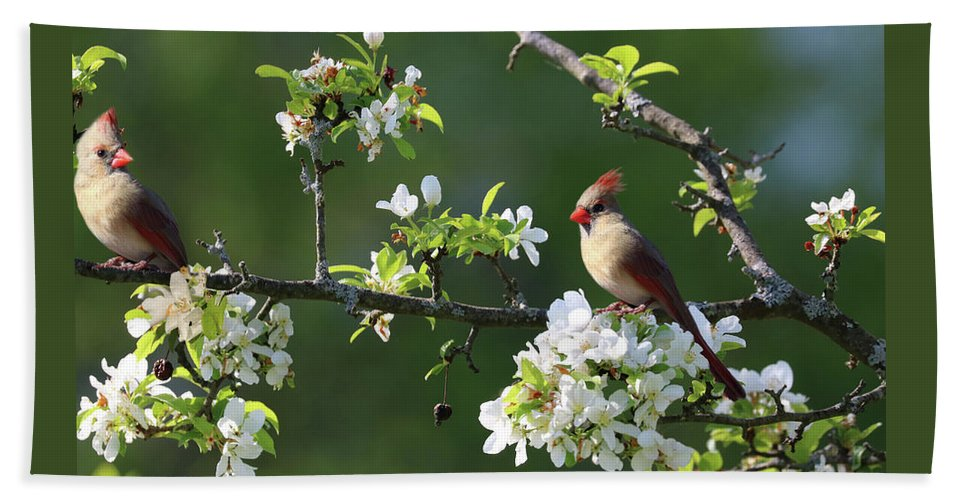 Animals Beach Towel featuring the photograph Cardinals In Spring by Sandra Huston