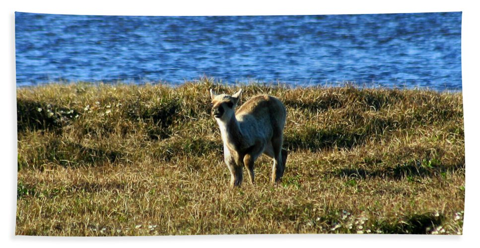 Fawn Beach Towel featuring the photograph Caribou Fawn by Anthony Jones
