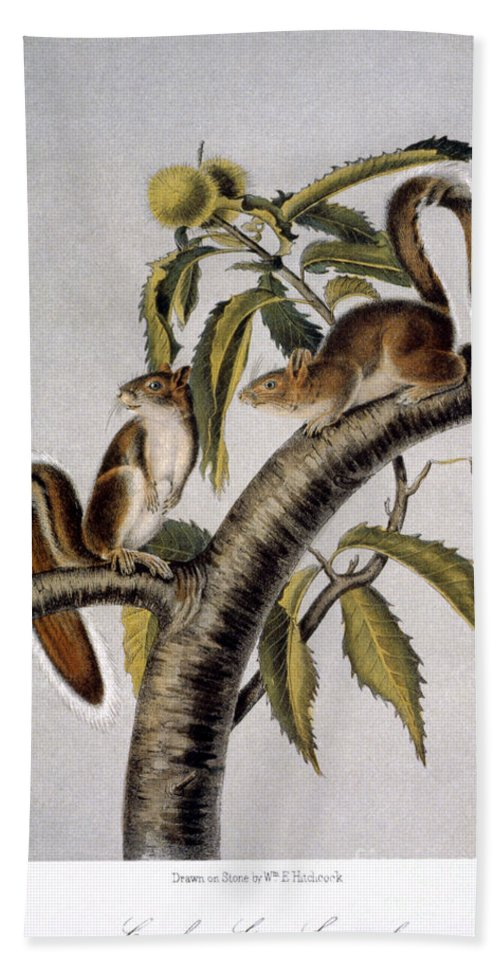 1846 Beach Towel featuring the photograph Carolina Grey Squirrel by Granger