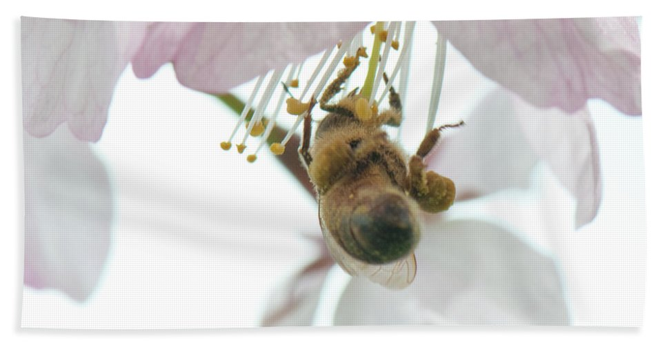 Photography Beach Towel featuring the photograph Cherry Blossom With Bee by Steven Natanson