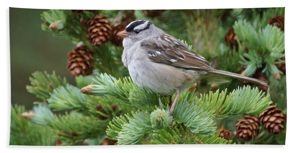 Chickadee Beach Towel featuring the photograph Chickadee by Heather Coen