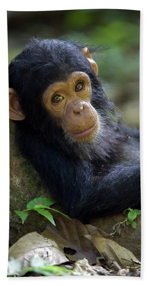 Mp Beach Sheet featuring the photograph Chimpanzee Pan Troglodytes Baby Leaning by Ingo Arndt