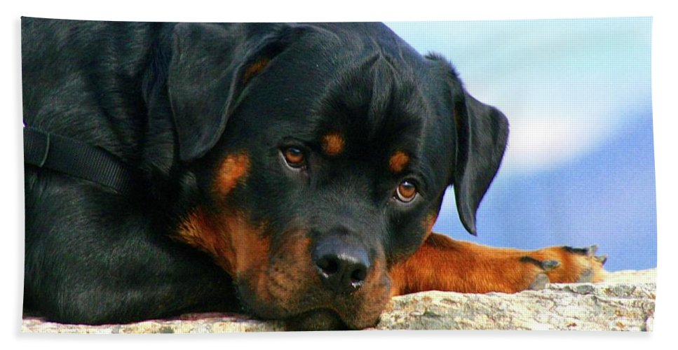 Rottweiler / Stonewall / Skyline Drive Beach Towel featuring the photograph Chiron The Rottweiler by Gregory E Dean