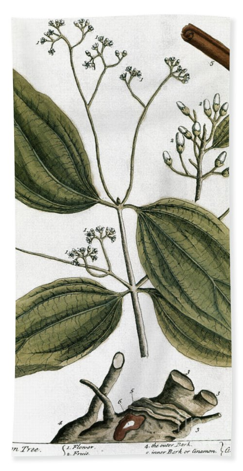 1730s Beach Towel featuring the photograph Cinnamon Tree, 1735 by Granger