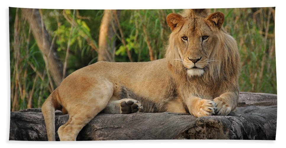 Lion Beach Towel featuring the photograph Classic Young Male by Steven Sparks