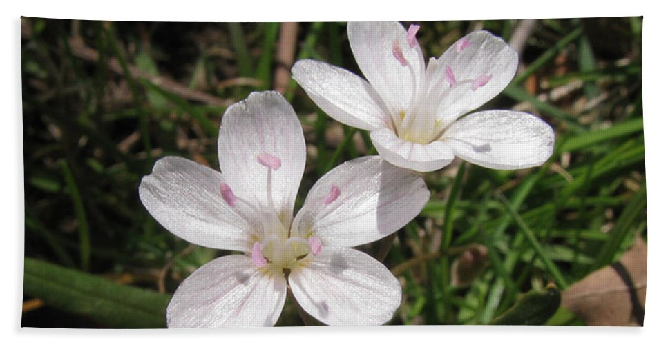 Flower Beach Towel featuring the photograph Claytonia by Donna Brown