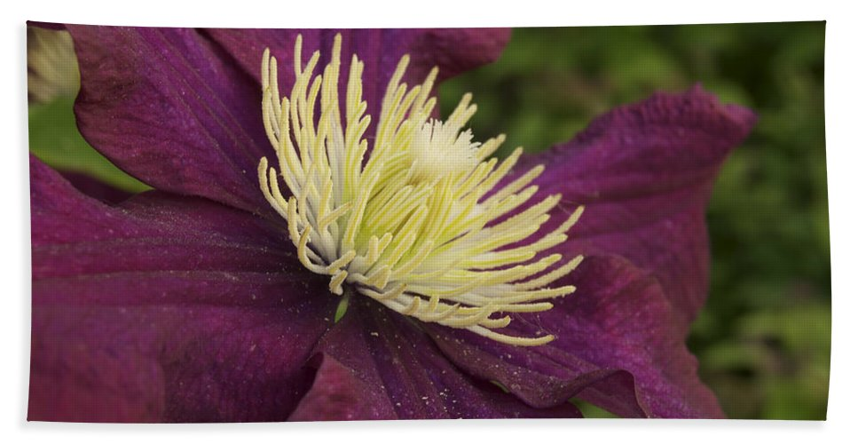 Flower Beach Towel featuring the photograph Clematis 4000 by Michael Peychich