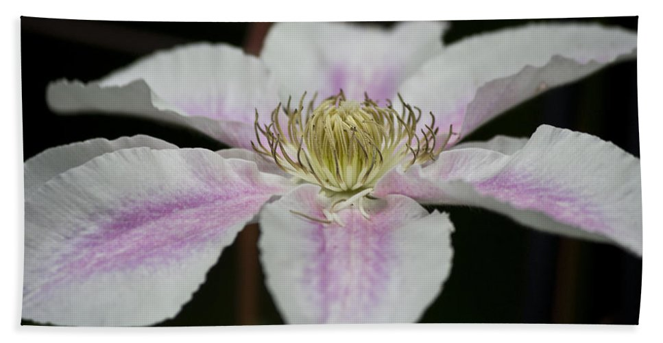 Clematis Beach Towel featuring the photograph Clematis Study 2 by Teresa Mucha