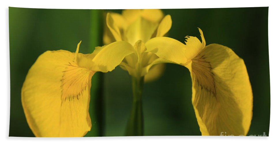 Bearded Beach Towel featuring the photograph Close Up Of A Yellow Bearded Iris by Deborah Benbrook