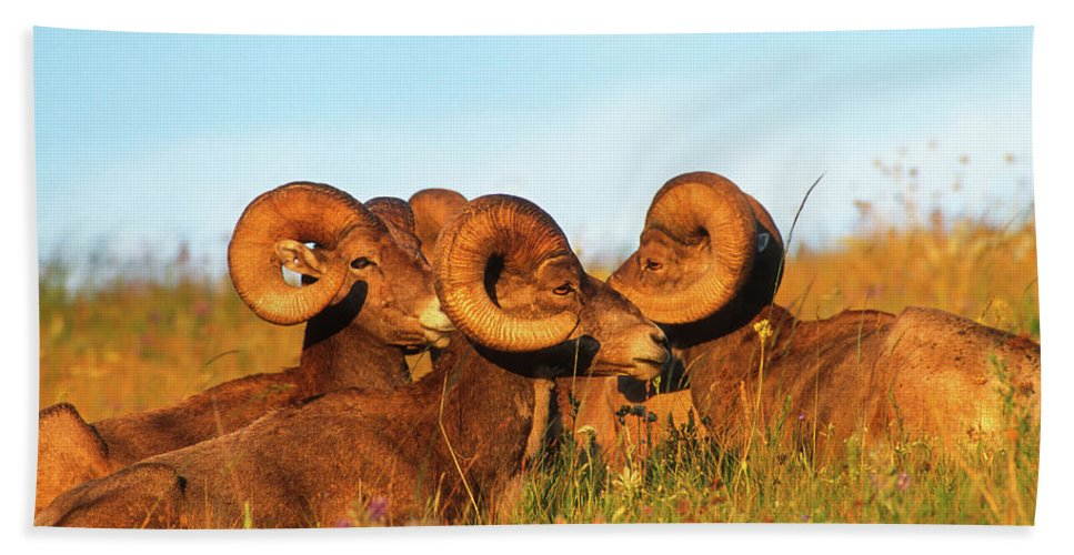 Animals Beach Towel featuring the photograph Close Up Portrait Group Of Big Bighorn Mountain Sheep Rams by Jerry Voss