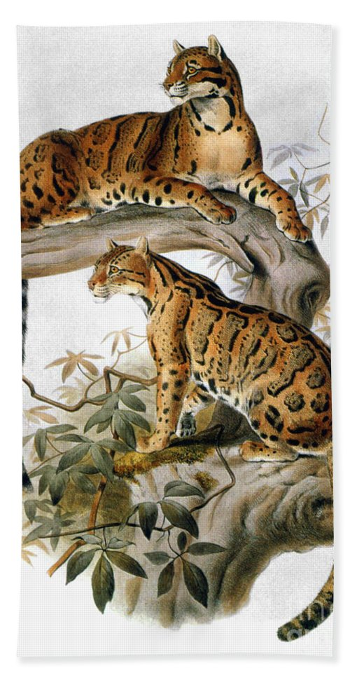 1883 Beach Towel featuring the photograph Clouded Leopard, 1883 by Granger