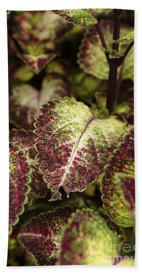 New England Beach Towel featuring the photograph Coleus Plant by Erin Paul Donovan