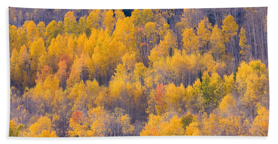 Trees Beach Towel featuring the photograph Colorado Autumn Trees by James BO Insogna