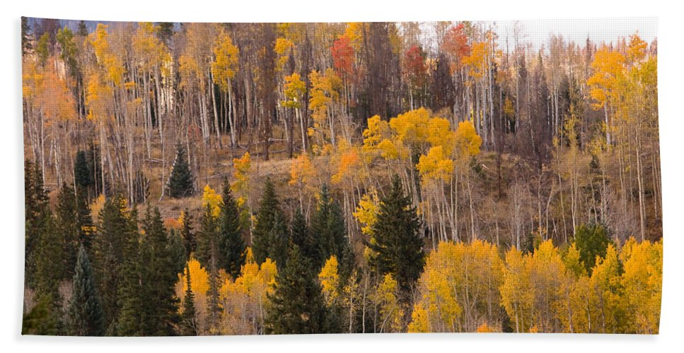 Trees Beach Towel featuring the photograph Colorado Fall Foliage by James BO Insogna
