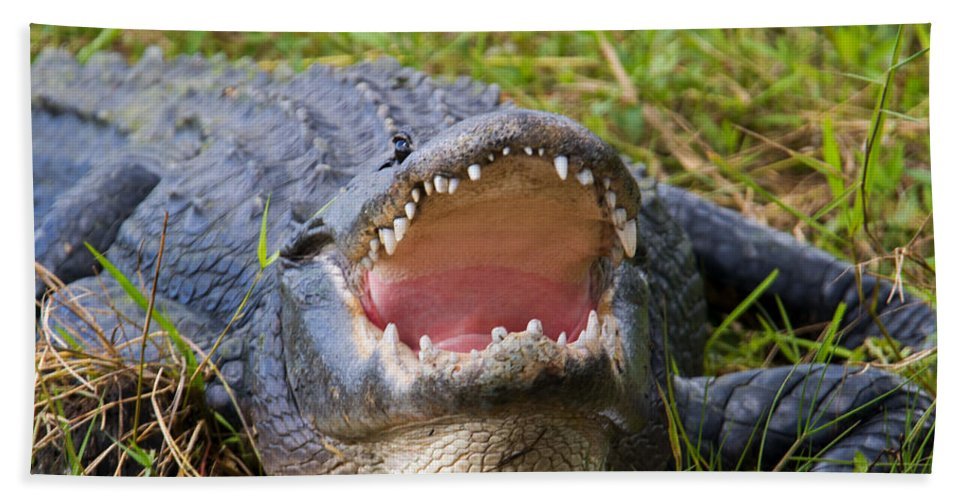 Alligator Beach Towel featuring the photograph Come A Bit Closer by Mike Dawson