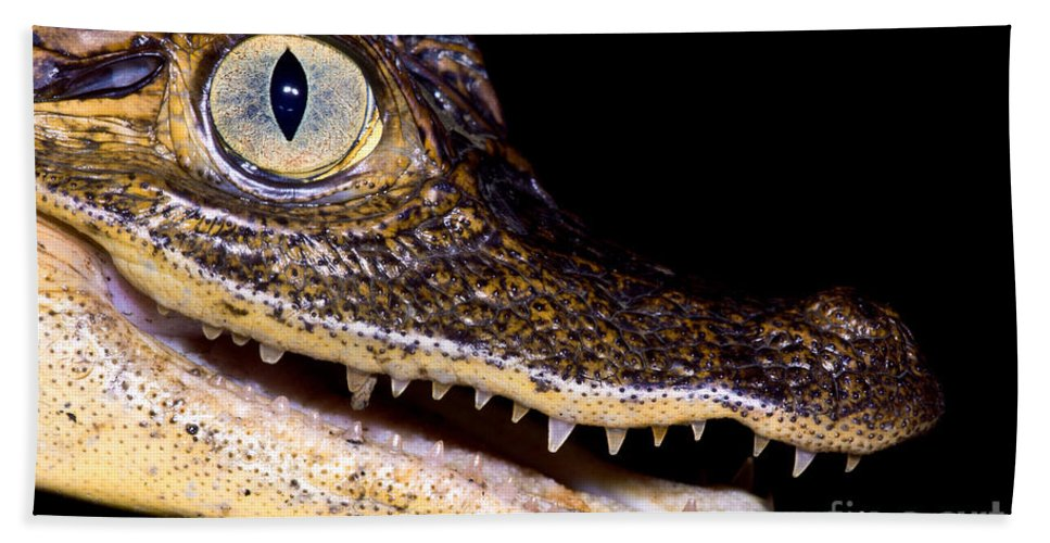 Common Caiman Beach Towel featuring the photograph Common Caiman by Dant� Fenolio