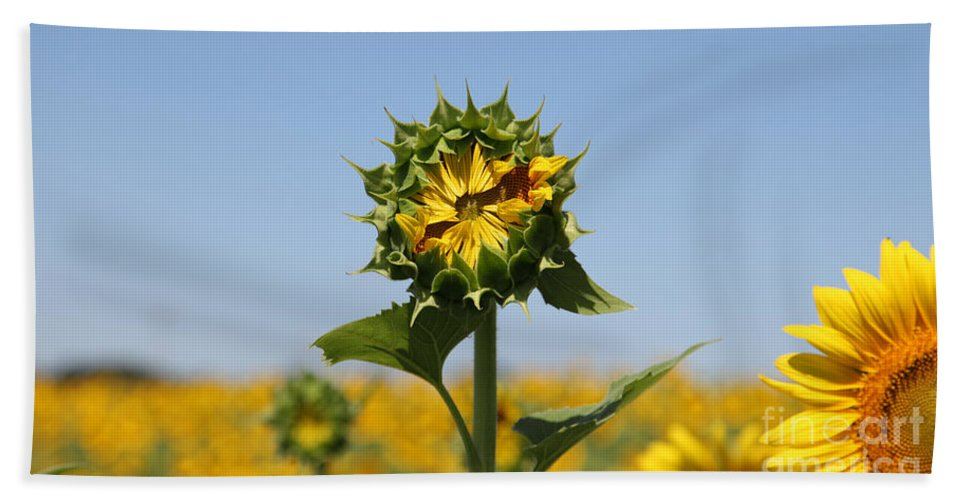 Sunflowers Beach Towel featuring the photograph Competition by Amanda Barcon