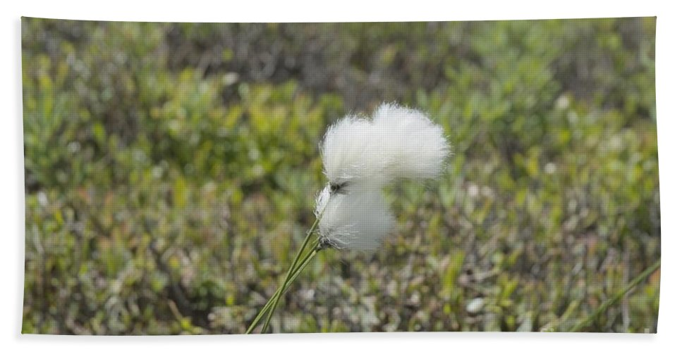 New England Beach Towel featuring the photograph Cotton Grass -eriophorum Virginicum- by Erin Paul Donovan