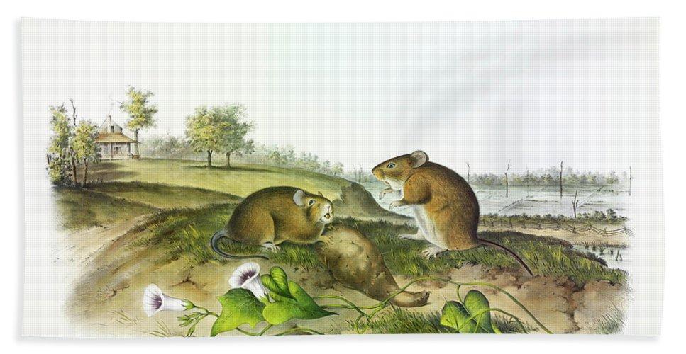 Cotton Rat Beach Towel featuring the painting Cotton Rat by John James Audubon
