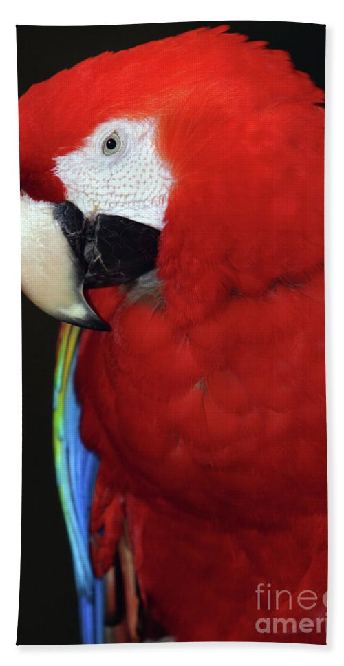 Amazon Beach Towel featuring the photograph Coy Scarlet Macaw by Alan Look