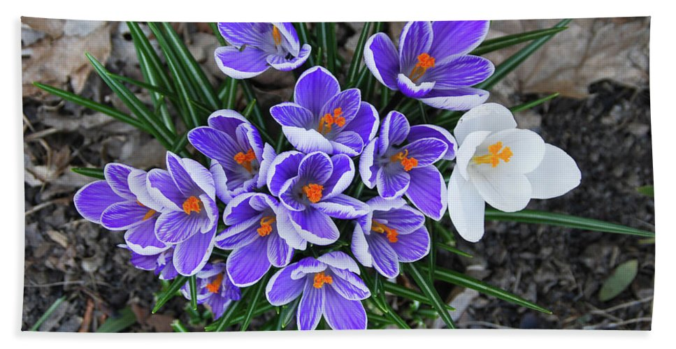 Pams Gardens Beach Towel featuring the photograph Crocus 6675 by Guy Whiteley