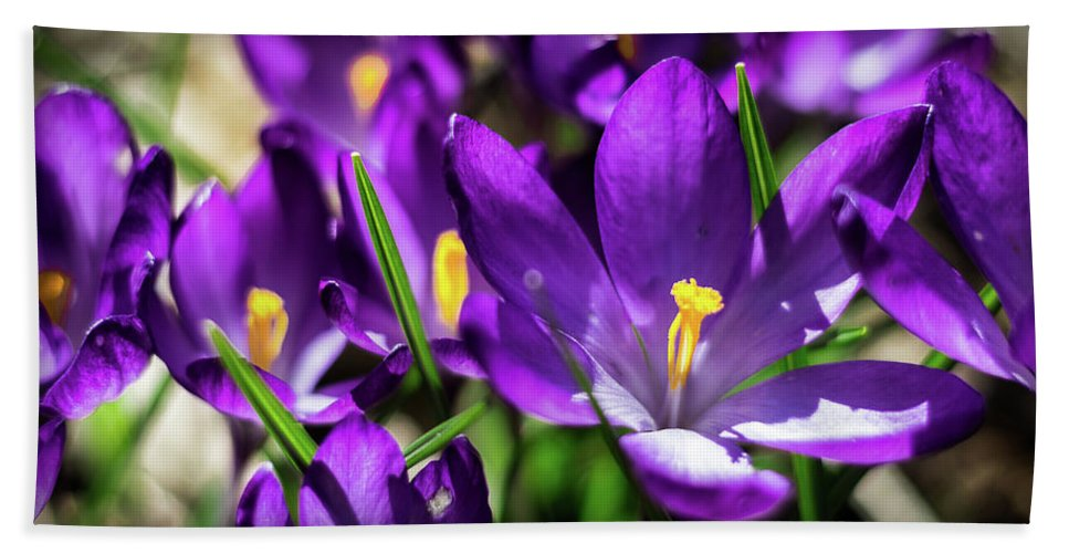 Crocus Beach Towel featuring the photograph Crocus Amongst Us by Will Bailey