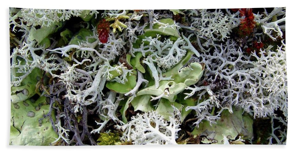Lichen Beach Towel featuring the photograph Crushed Lichen by Ron Bissett