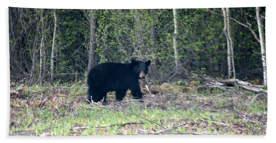 Black Bear Nature Wild Animal Trees Forest Rainbow Lodge Piprell Lake Saskatchewan Beach Towel featuring the photograph Curious Black Bear by Andrea Lawrence