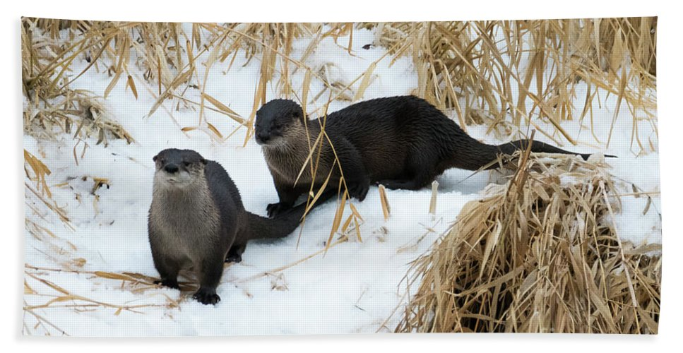 River Otters Beach Towel featuring the photograph Curious Pair by Mike Dawson