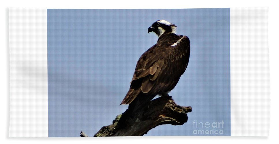 Osprey Lake St Catherine Poultney Wells Vermont Beach Towel featuring the photograph Curved Osprey by Karen Velsor