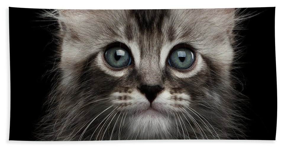 Curl Beach Towel featuring the photograph Cute American Curl Kitten with Twisted Ears Isolated Black Background by Sergey Taran