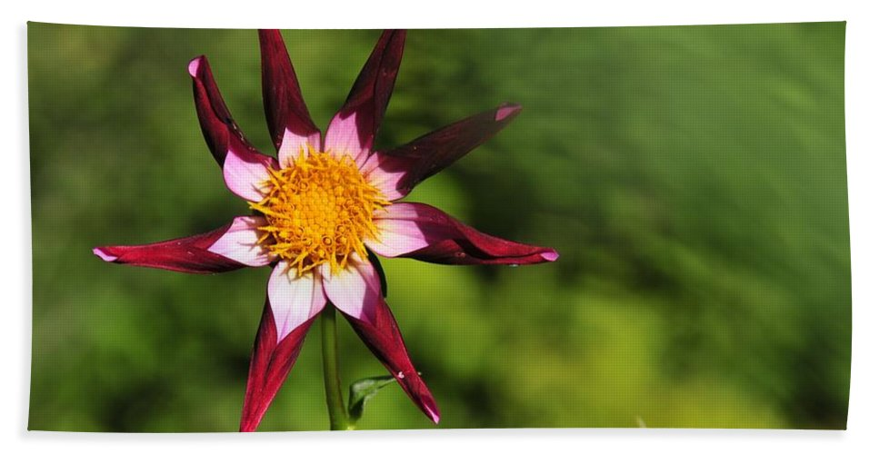 Flower Beach Towel featuring the photograph Dahlia Red White And Green by David Arment
