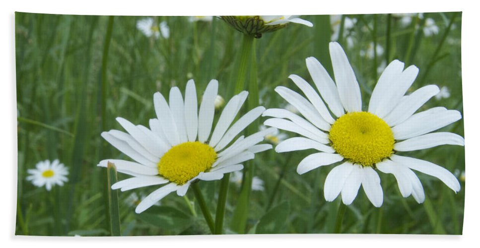 Flower Beach Towel featuring the photograph Daisies by Michael Peychich