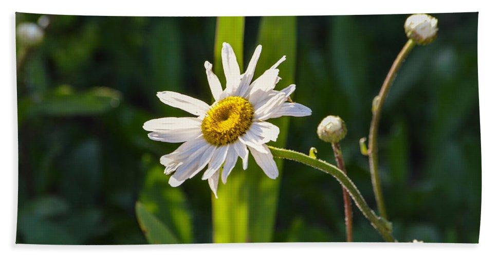 Daisy Beach Towel featuring the photograph Daisy by Miranda Strapason