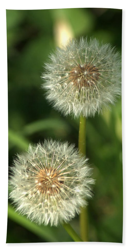 Dandelion Beach Towel featuring the photograph Dandelion Seed Heads by Chris Day