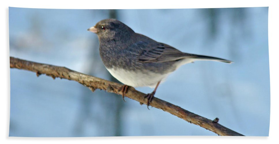Junco Beach Towel featuring the photograph Dark-eyed Junco Or Snowbird - Junco Hyemalis by Mother Nature