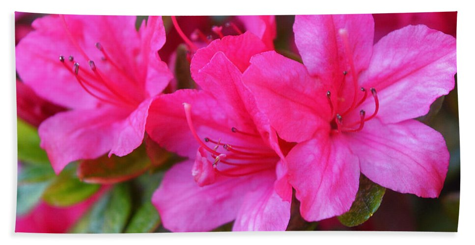 Dark Pink Azalea Flowers 1 Beach Towel For Sale By Geraldine Cote