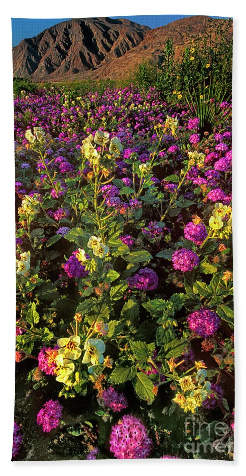 Dave Welling Beach Towel featuring the photograph Desert Sand Verbena And Brown-eyed Primrose Below The Coyote Mountains California by Dave Welling