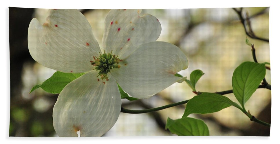 White Beach Towel featuring the photograph Dogwood Bloom by Susan Cliett