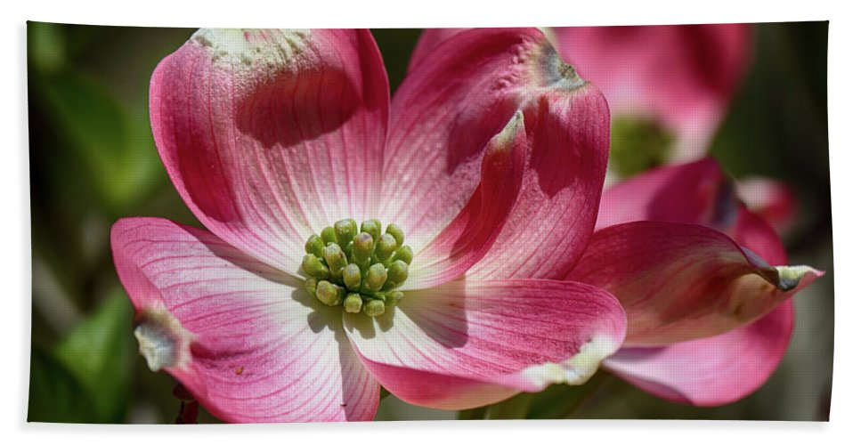Dogwood Beach Towel featuring the photograph Dogwood Spring by John Haldane