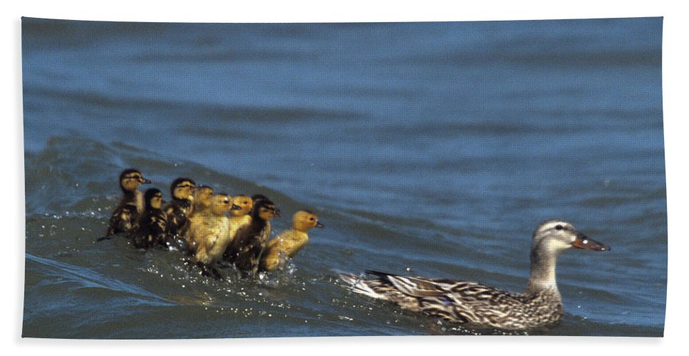 Distressed Ducklings Beach Towel featuring the photograph Don't Bother Mother by John Harmon