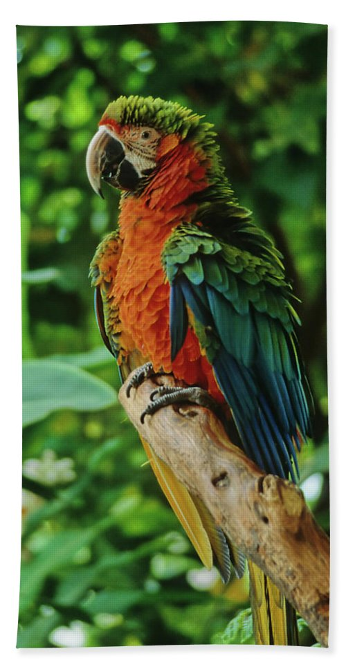 Parrot Beach Towel featuring the photograph Don't Ruffle My Feathers by Marie Hicks